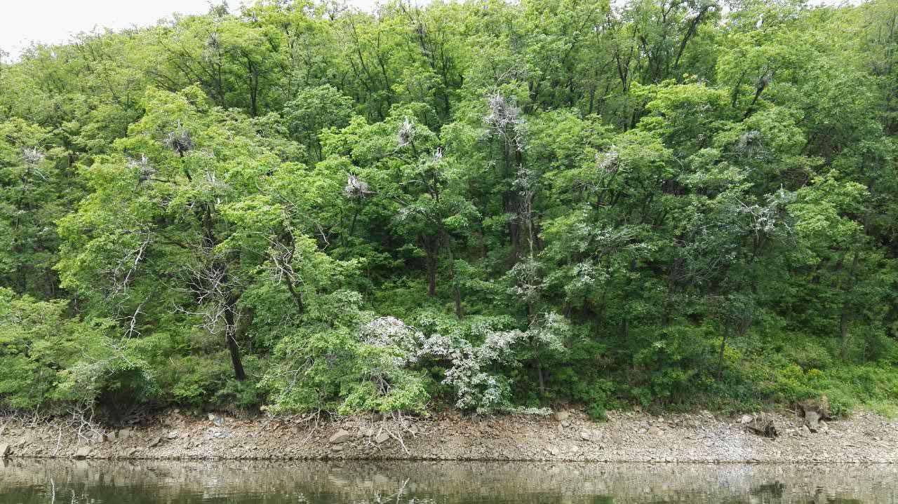 这张照片看不清,是吗?放大一点,你就能看到湖边的树上满是野灰鹭筑的鸟巢,灰鹭们警惕地目视着我们的游船。